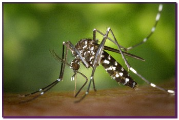 aedes1
