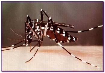 aedes4