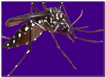 aedes5
