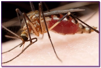 aedes7