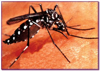 aedes9