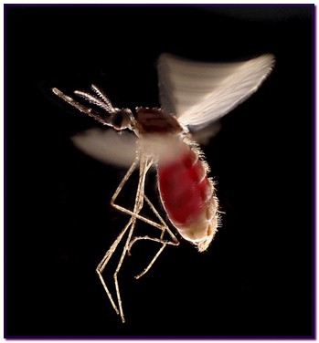 B0006056 Mosquito, Anopheles stephensi in flight